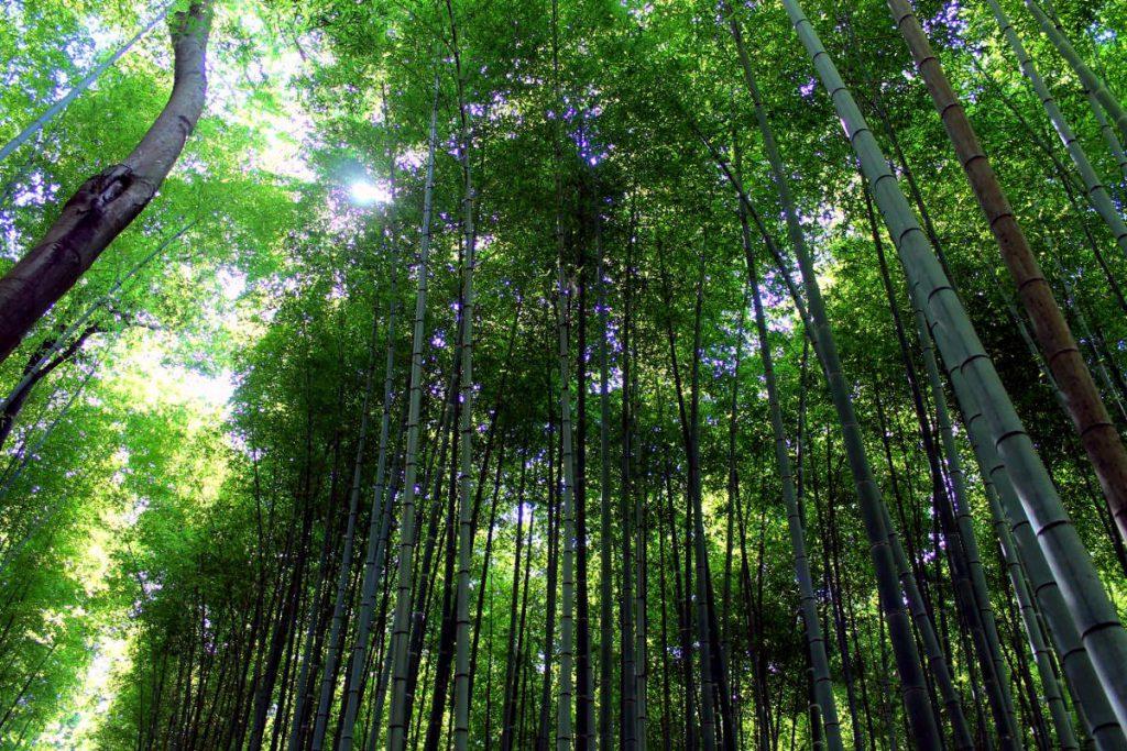 Arashiyama Bamboo Grove | Footsteps of a Dreamer