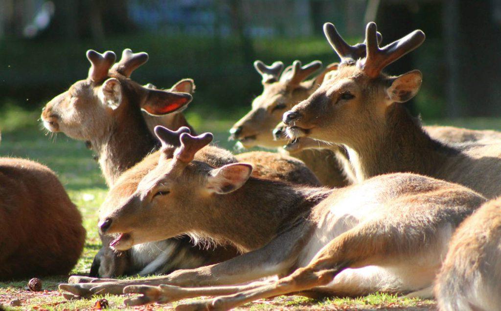 Nara Park Deer | Footsteps of a Dreamer