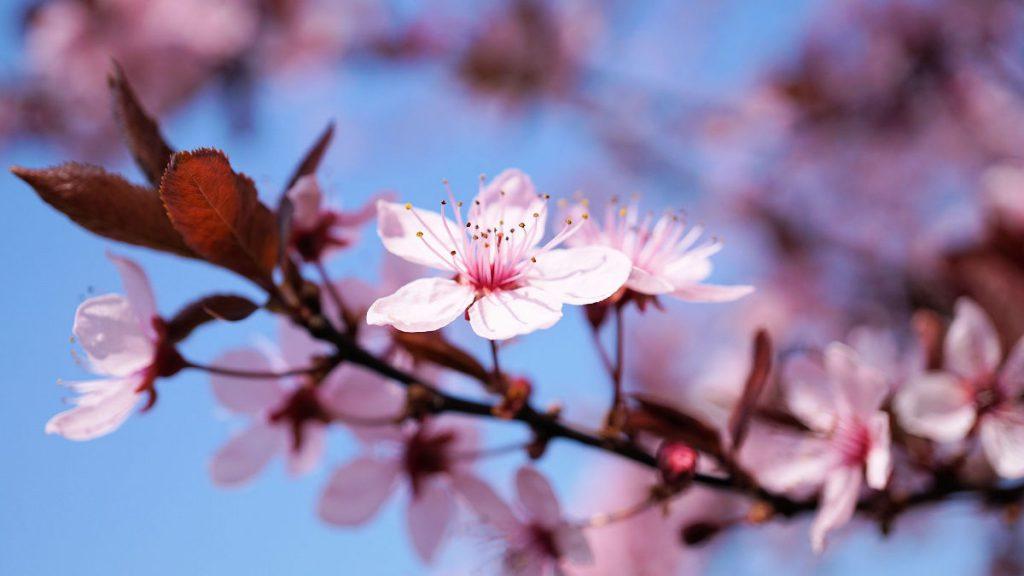 Spring in Japan | Footsteps of a Dreamer
